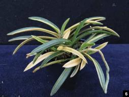 Orquídea Neofinetia Falcata