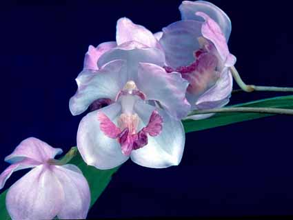 Orquídea Aganísia