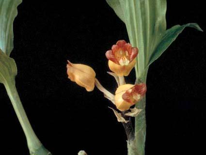 Acanthophippium
