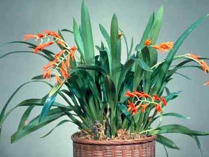 Orquídea Ada