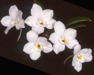 Orquídea Amesiella