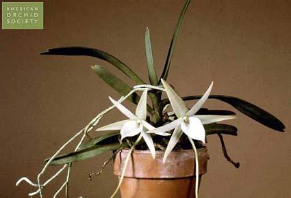 Orquídea Angraecum