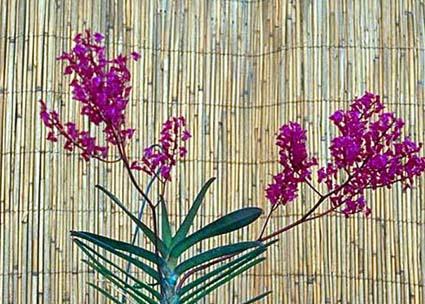 Orquídea Ascoglossum