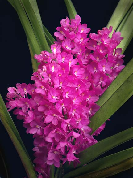 How to Grow Cymbidium Orchids (with Pictures) - wikiHow