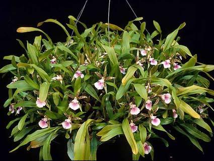 Orquídea Aspasia