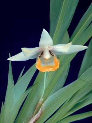 Orquídea Benzingia