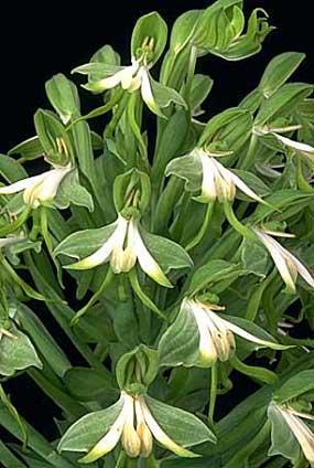 Orquídea Bonatea