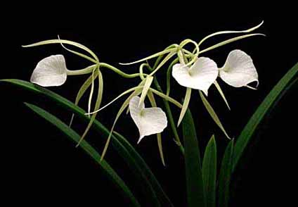 Orquídea Brassavola