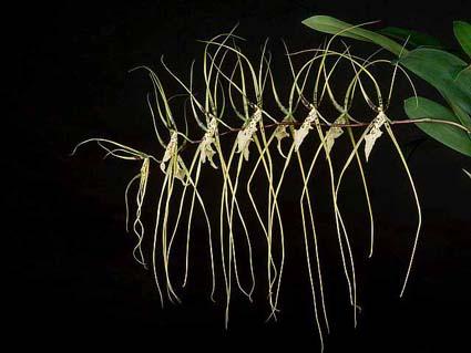 Orquídea Brassia