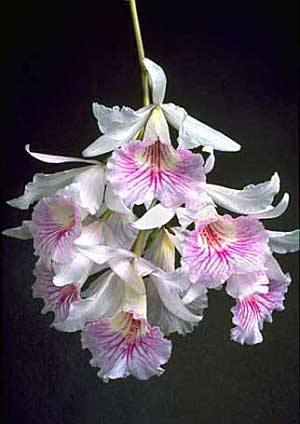 Orquídea Broughtonia
