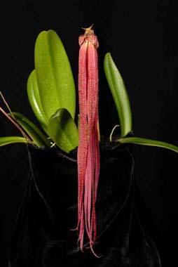 Orquídea Bulbophyllum