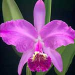 Cattleya lueddemanniana - © 2009 Greg Allikas  Although some growers recommend growing all labiate Cattleyas mounted, C. lueddemanniana also does well in well-ventilated pots of large bark or other coarse medium. Provide bright light and good air movement. Avoid over-watering during the winter.