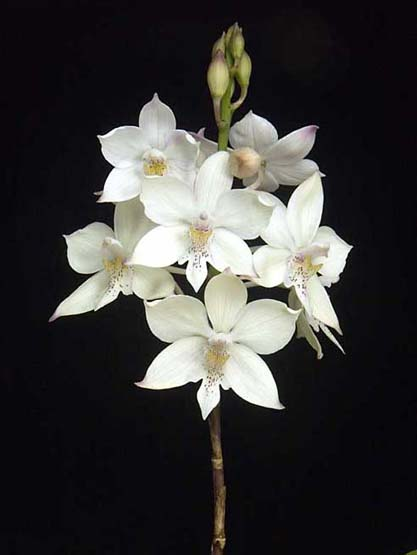 White Flowered Orchids