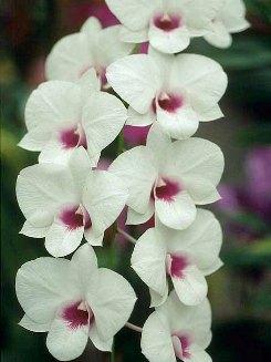 Dendrobium Culture Phalaenopsis And Semi Antelope Types