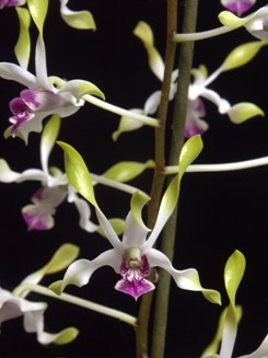 Dendrobium Rambo antelope twisted type orchid seedling