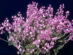 orchid plant Dendrobium kingianum /'Crystal/'