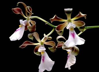 Encyclia cordigera (Kunth)