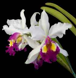 Cattleya Queen Of The Orchids The Showy Cattleya Queen Of The