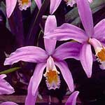 Laelia jongheana 'Bow's Seagrove Birthday', CCE/AOS - exhib: Seagrove Orchids - photo: © James Osen This beautiful Brazilian orchid requires perfect drainage and is best grown on a mount or in a basket under bright indirect light. Buy only seed-raised plants; endangered species on CITES Appendix I. Cool-intermediate
