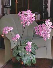 best orchid house plants.  What is the best orchid for growing in home
