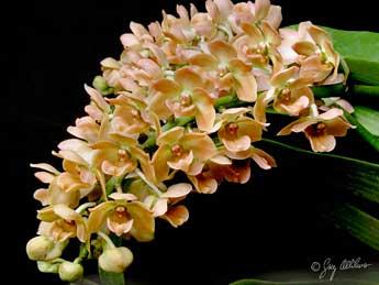 vietnam orchids medicinal uses