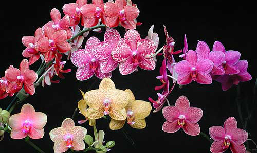 Top Ten Uncommonest Questions Asked About Phalaenopsis