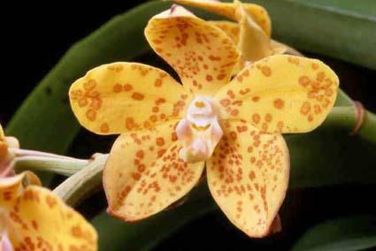 Hoa gieo tứ tuyệt 3 - Page 5 Vandopsis_gigantea_Chesters-Pride_HCC-RomanUsery