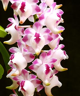 Orquídea Aerides
