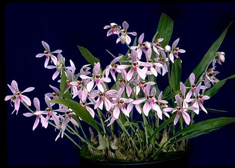 Orquídea Ancistrochilus