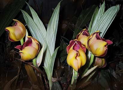 Orquídea Anguloa