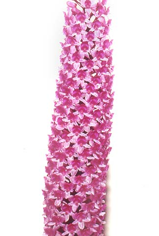Orquídea Arpophyllum