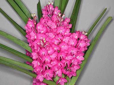 Orquídea Ascocentrum