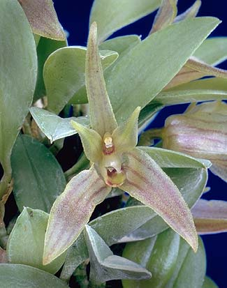 Orquídea Barbosella
