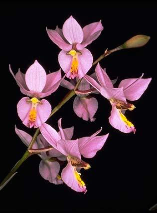 Orquídea Barkeria