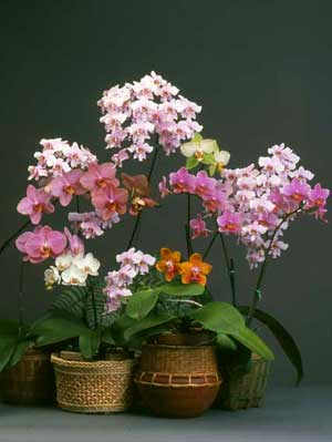 If You Are Lucky Enough To Have A Phalaenopsis About Enter The Wonderful World Of Growing Orchids Phals One Easiest Grow
