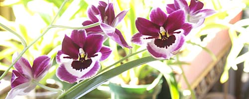 Growing Healthy Orchids Indoors