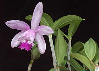 Orchid pests and diseases mightylinksfo