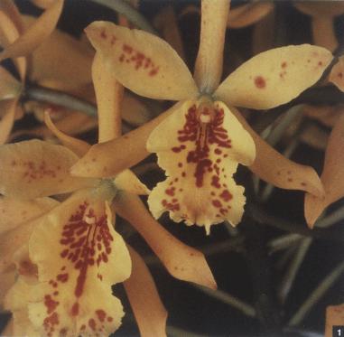 Como preparar orquídeas para exposição ??