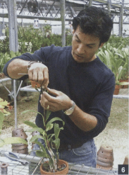 Como preparar orquídeas para exposição