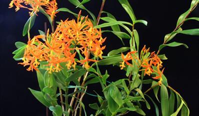 Epidendrum baumannianum